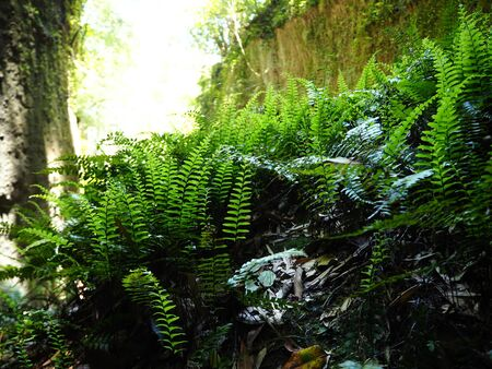 ferns in the gorge near Iokido Cave Stock Photo