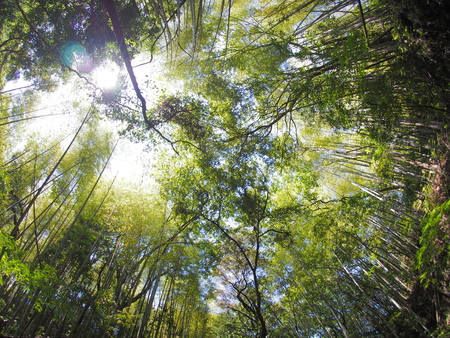 looking up bamboo trees