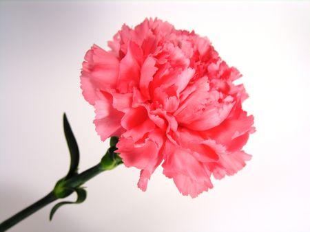 Pink carnation and stem.