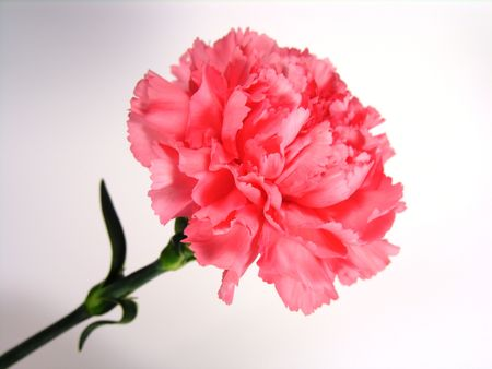 Pink carnation and stem.