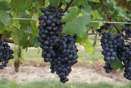 Grapes on vine. photo