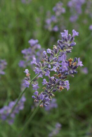 Lavender Stock fotó