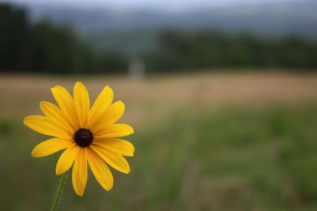 The Rudbeckia, known also as Black Eyed Susan photo