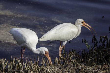 ibis: Ibis Pair