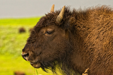 np: American Bison Yellowstone N.P. Stock Photo