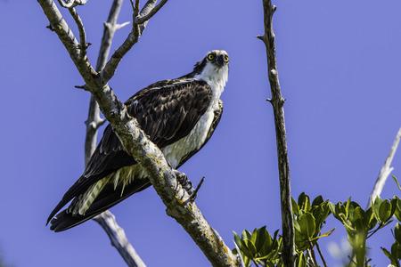 osprey: Osprey in Tree Stock Photo