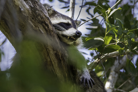 racoon: Racoon Napping in Tree