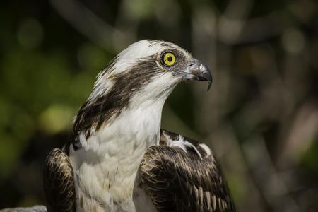 osprey: Osprey Profile