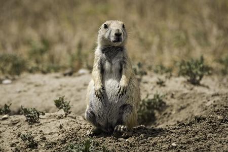 prairie: Prairie Dog on Guard
