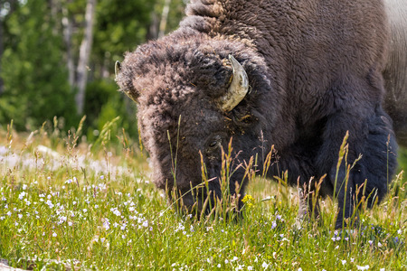 American Bison Grazing