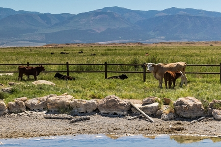 Cattle Grazing in Utah next to a watering hole Imagens