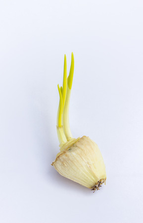 bulb and stem vegetables: The big onion on white background