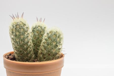 cactus botany: The small tree cactus on the white background Stock Photo