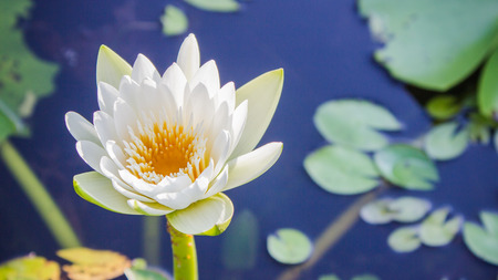 lotus flower: The white lotus flower on green leaf background