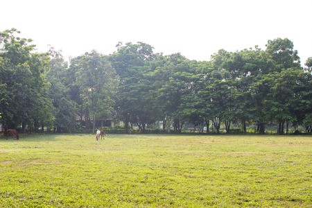 chestnut male: The Horse Farm on the green grass background