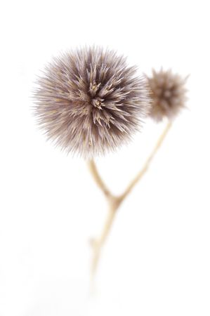 A close up minimalistic photo of small dry flower on white background