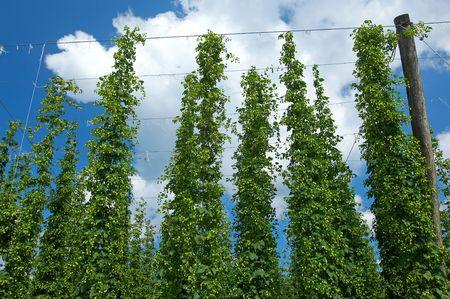 Hop plantation Stock Photo