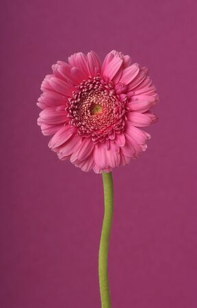 Gerber flower  on purple background                              Stock Photo