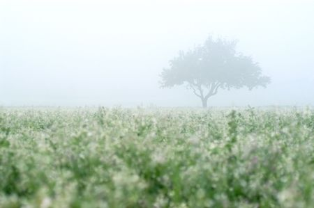 Apple tree in morning mist