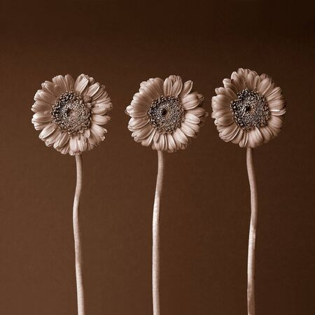 Three gerber flowers on brown background                        Stock Photo