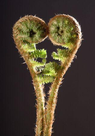 Detail of growing fern                           Stock Photo
