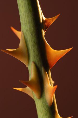 Detail of rose thorns