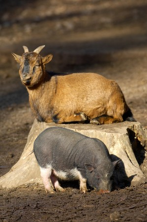 Young vietnamese pig and goat Stock Photo