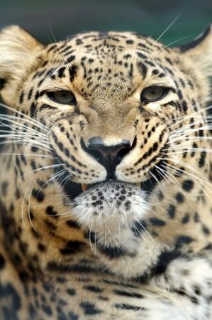 Threatening leopard photo