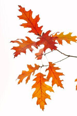 Backlit oak leafs
