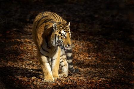 Asian tiger photo