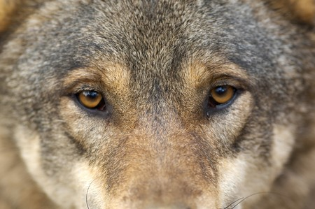 Portrait of wolf Stock Photo