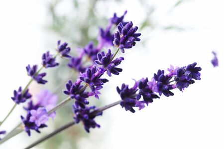 Detail of lavender flower Stock Photo - 3982766