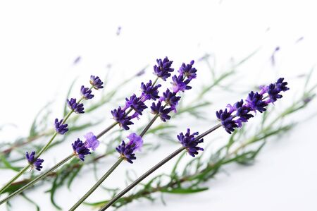 Detail of lavender flower Stock Photo - 3982781