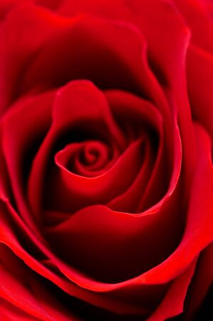 Macro shot of red rose Stock Photo