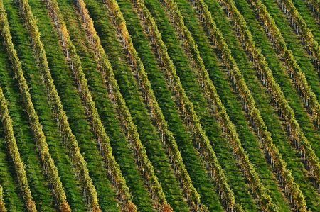Detail of vineyard Stock Photo - 4047991