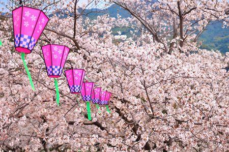 calmness: Sakura blossom and Japanese lantern  Stock Photo