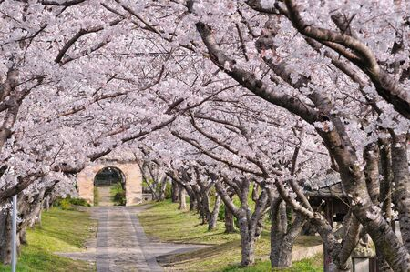 ponte giapponese: Arco del fiore giapponese sakura