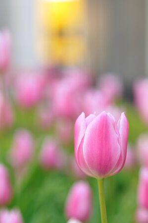 beautiful red tulips close up: Tulip