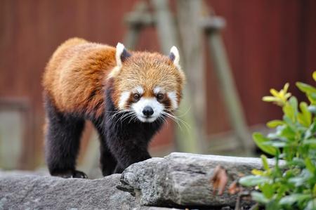 Red panda  Stock Photo - 9774198