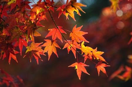 japanese maple: Colored Japanese maple leaf  Stock Photo
