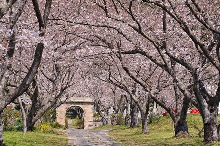 Arch of sakura blossom