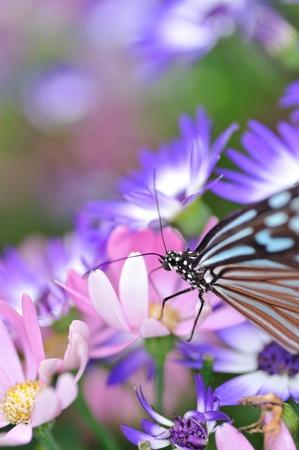Chestnut tiger butterfly Stock Photo - 9888018