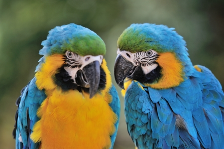 macaw: Blue-and-yellow Macaw
