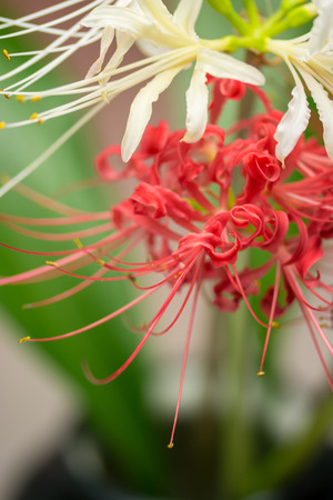 radiata: Lycoris Radiata Stock Photo
