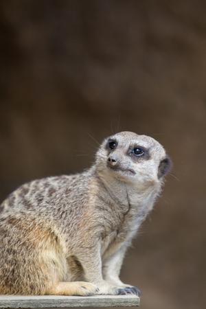 adapted: Meerkat close up