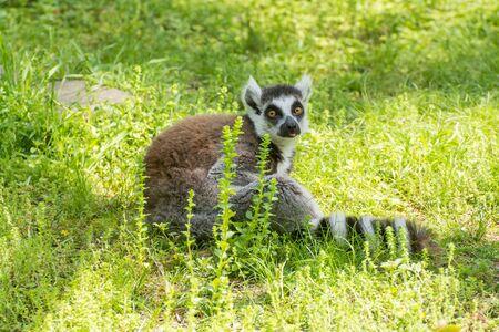 ring tailed: Ring Tailed Lemur Stock Photo