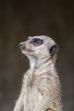 meerkat: Meerkat