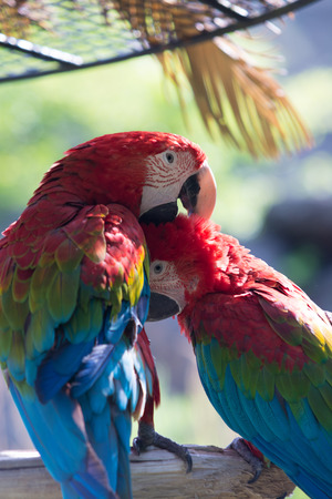 scarlet: Scarlet macaw Stock Photo