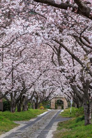 trad: Arch of Japanese sakura blossom Stock Photo