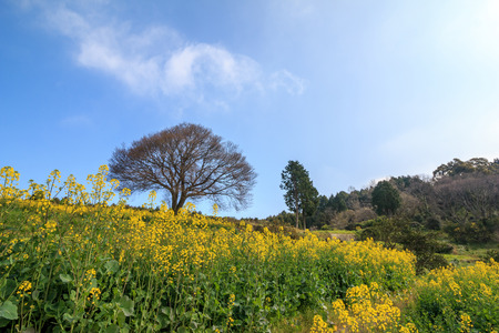 Lonely wild sakura tree in Baba, Takeo, Saga in Japan